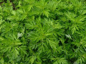 Artémesia plante médicinalepour renforcer le système immunitaire