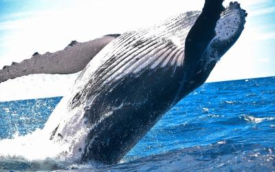 festival de baleine