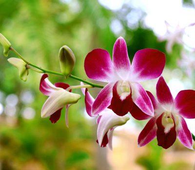 orchid-black